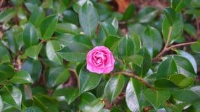 Λουλούδι καμελιών στο πράσινο κλίμα φυλλώματος απόθεμα βίντεο