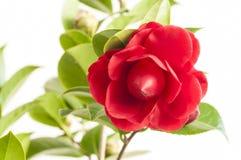 Λουλούδι καμελιών Στοκ φωτογραφία με δικαίωμα ελεύθερης χρήσης