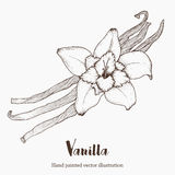 Λουλούδι καρυκευμάτων βανίλιας, οργανικά έξοχα τρόφιμα αρώματος Διανυσματική απεικόνιση σκίτσων σχεδίων χεριών Στοκ εικόνες με δικαίωμα ελεύθερης χρήσης
