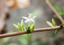 Λουλούδι καφέ Στοκ Εικόνες