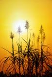 Λουλούδι καλάμων ζάχαρης Στοκ φωτογραφία με δικαίωμα ελεύθερης χρήσης