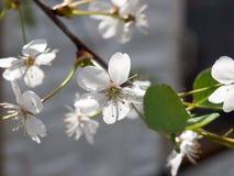 Λουλούδι κεράσι-δέντρων Στοκ εικόνα με δικαίωμα ελεύθερης χρήσης