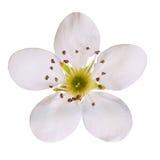 Λουλούδι κερασιών πουλιών που απομονώνεται. Μακροεντολή Στοκ Εικόνες