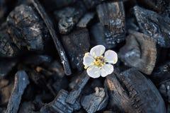 Λουλούδι κερασιών σε ένα μαύρο υπόβαθρο Στοκ εικόνα με δικαίωμα ελεύθερης χρήσης