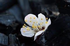 Λουλούδι κερασιών σε ένα μαύρο υπόβαθρο Στοκ φωτογραφία με δικαίωμα ελεύθερης χρήσης