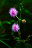 Λουλούδι-κεφάλι pudica Mimosa Στοκ Φωτογραφία