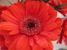 Λουλούδι κινηματογραφήσεων σε πρώτο πλάνο σε ένα βάζο στοκ εικόνες