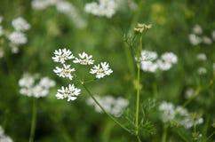 Λουλούδι κορίανδρου Στοκ φωτογραφία με δικαίωμα ελεύθερης χρήσης