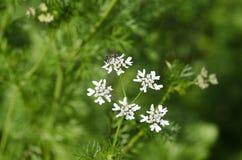 Λουλούδι κορίανδρου Στοκ εικόνα με δικαίωμα ελεύθερης χρήσης