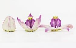 Λουλούδι κορωνών στοκ φωτογραφίες με δικαίωμα ελεύθερης χρήσης