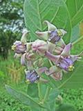 Λουλούδι κορωνών Στοκ Εικόνα