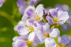 Λουλούδι κούκων (pratensis Cardamine) Στοκ εικόνα με δικαίωμα ελεύθερης χρήσης