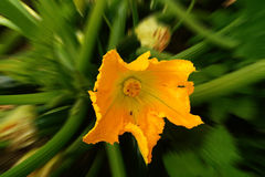 Λουλούδι κολοκυθιών Στοκ Εικόνα