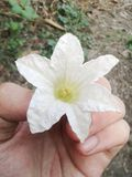 Λουλούδι κολοκυθών κισσών Στοκ φωτογραφίες με δικαίωμα ελεύθερης χρήσης