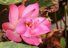 Λουλούδι κρίνων νερού ή λουλούδι Lotus με τη μέλισσα μέσα Στοκ Εικόνα