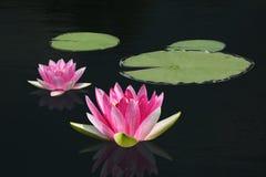 Λουλούδι κρίνων νερού Στοκ Φωτογραφίες