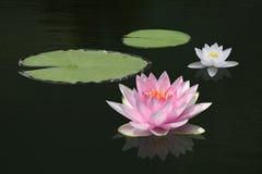 Λουλούδι κρίνων νερού Στοκ φωτογραφίες με δικαίωμα ελεύθερης χρήσης