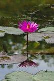 Λουλούδι κρίνων νερού στοκ εικόνα