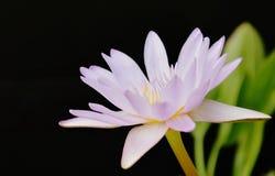 Λουλούδι κρίνων νερού Lotus που ανθίζει στον κήπο στο μαύρο υπόβαθρο Στοκ Φωτογραφίες