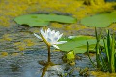 Λουλούδι κρίνων που περιβάλλεται από τα φύλλα στο δέλτα Δούναβη Στοκ Φωτογραφίες