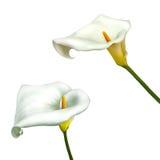 Λουλούδι κρίνων της Calla που απομονώνεται σε ένα άσπρο υπόβαθρο Στοκ Εικόνα