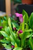 Λουλούδι κρίνων της Calla Στοκ εικόνες με δικαίωμα ελεύθερης χρήσης