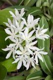 Λουλούδι κρίνων του Μπρίσμπαν Στοκ Εικόνα