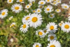 Λουλούδι-κρεβάτι με ox-eye κήπων την εξέδρα Στοκ Εικόνες