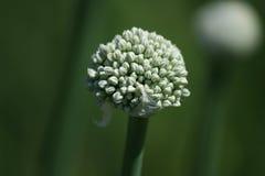 Λουλούδι κρεμμυδιών Στοκ φωτογραφίες με δικαίωμα ελεύθερης χρήσης
