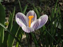Λουλούδι κρόκων σε έναν κήπο Στοκ εικόνα με δικαίωμα ελεύθερης χρήσης