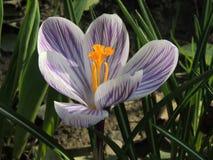 Λουλούδι κρόκων σε έναν κήπο Στοκ εικόνες με δικαίωμα ελεύθερης χρήσης
