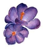 Λουλούδι κρόκων την άνοιξη διανυσματική απεικόνιση
