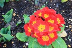 Λουλούδι κόκκινος-κίτρινου PRIMULA MAGGIORE Στοκ Εικόνες