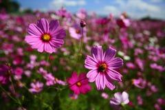 Λουλούδι κόσμου (κόσμος Bipinnatus) με το θολωμένο υπόβαθρο Στοκ Εικόνες