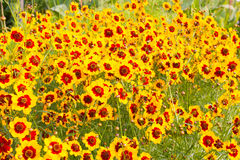 Λουλούδι κόσμου στην πλήρη άνθιση Στοκ Φωτογραφίες