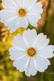 Λουλούδι κόσμου Στοκ Εικόνα