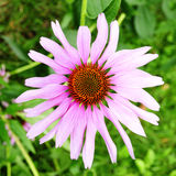 Λουλούδι κώνων Στοκ εικόνες με δικαίωμα ελεύθερης χρήσης