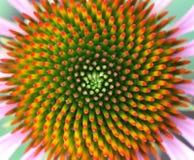 Λουλούδι κώνων στοκ εικόνες