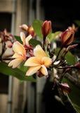 Λουλούδι Λα του Lee wa dee Στοκ φωτογραφίες με δικαίωμα ελεύθερης χρήσης