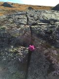Λουλούδι μέσα - μεταξύ των βράχων Στοκ Εικόνες