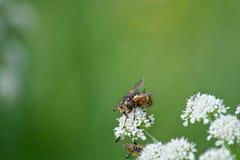 Λουλούδι & μέλισσα Στοκ φωτογραφίες με δικαίωμα ελεύθερης χρήσης