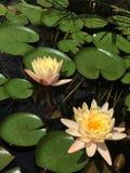 Λουλούδι μαξιλαριών κρίνων Στοκ εικόνες με δικαίωμα ελεύθερης χρήσης