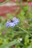 Λουλούδι μαράθου, γεροντοκόρη στο πράσινο, damascena Nigella Στοκ Εικόνες