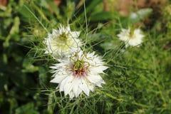 Λουλούδι μαράθου, γεροντοκόρη στο πράσινο, damascena Nigella Στοκ εικόνα με δικαίωμα ελεύθερης χρήσης