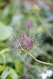 Λουλούδι μαράθου, γεροντοκόρη στο πράσινο, damascena Nigella Στοκ Εικόνα