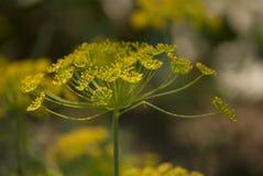 Λουλούδι μαράθου Στοκ εικόνα με δικαίωμα ελεύθερης χρήσης