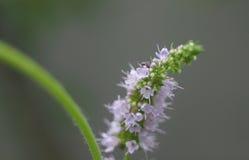 Λουλούδι μεντών Στοκ Εικόνα