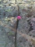 Λουλούδι μεταξύ των βράχων Στοκ Εικόνες