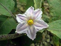Λουλούδι μελιτζάνας Στοκ Εικόνες