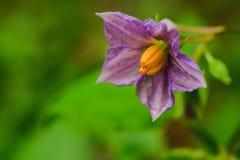 Λουλούδι μελιτζάνας Στοκ εικόνες με δικαίωμα ελεύθερης χρήσης